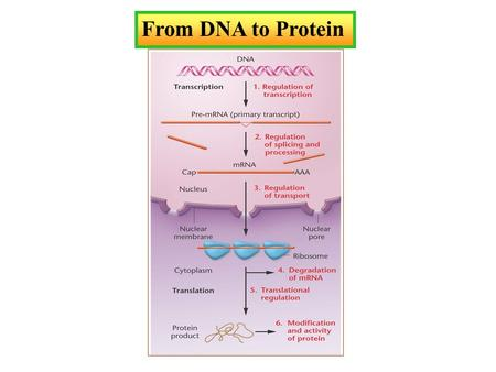 From DNA to Protein. Knowledge of Nucleic Acid Chemistry Is Essential to the Understanding of DNA Structure.