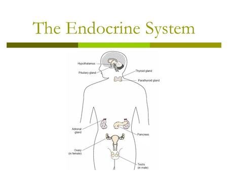 The Endocrine System. In this lesson:  You will learn about the endocrine system and how it works  You will have a chance to make your own model of.