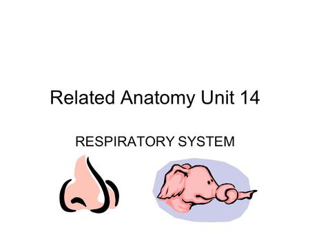 Related Anatomy Unit 14 RESPIRATORY SYSTEM 1. Trace a breath Nose Pharynx- throat Larynx- voice box Trachea- windpipe 2 Bronchi 2 Lungs Alveoli.