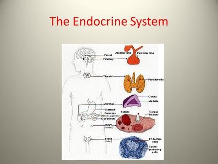 The Endocrine System. Endocrine system: characteristics Endocrine system is mostly controlled by the nervous system Endocrine system controls most of.