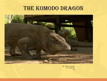 The komodo dragon By: Nisha Hussain Sr. Nillab W. 7A.