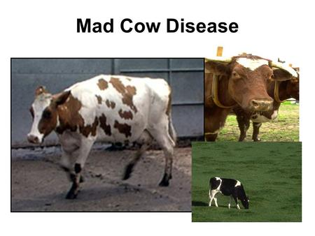 Mad Cow Disease. Effects of Mad Cow disease Mad cow disease, or bovine spongiform encephalopathy (BSE), is a fatal brain disorder that occurs in cattle.