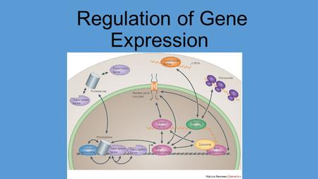 Regulation of Gene Expression. Questions? How can cells with different functions have the exact same DNA in their nucleus? How does the body use the exact.
