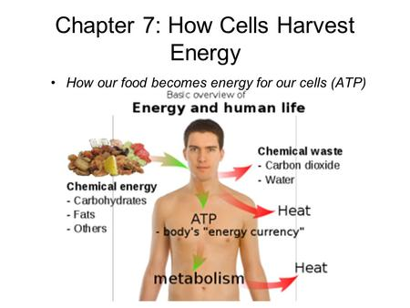 Chapter 7: How Cells Harvest Energy How our food becomes energy for our cells (ATP)
