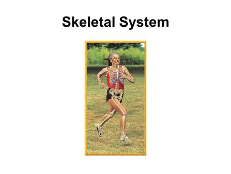 Skeletal System. bone marrow 1. the part of a bone that produces blood cells.