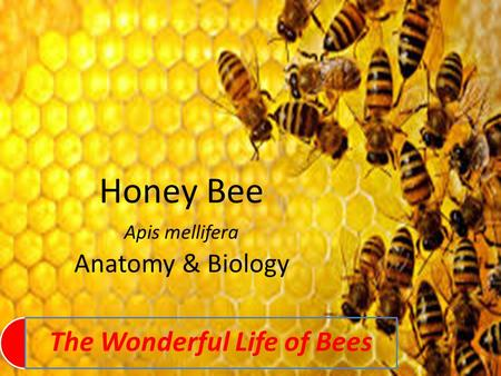The Wonderful Life of Bees Honey Bee Apis mellifera Anatomy & Biology.