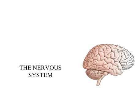 THE NERVOUS SYSTEM. Divisions of the nervous system Central Nervous System –Brain and spinal cord Peripheral Nervous System –All neural tissue outside.
