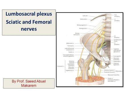 Lumbosacral plexus Sciatic and Femoral nerves By Prof. Saeed Abuel Makarem.