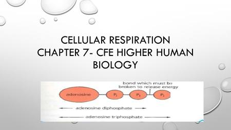 Cellular Respiration Chapter 7- Cfe Higher Human Biology