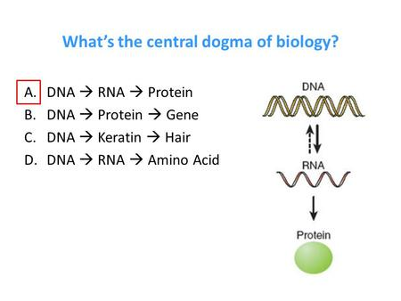 dna makes rna makes protein essay View notes - ap bio essay ch 17 from biology ap bio at cresskill jr sr high sch ch 17- transcription and translation the central dogma of biology is dna makes rna rna makes protein and protein.