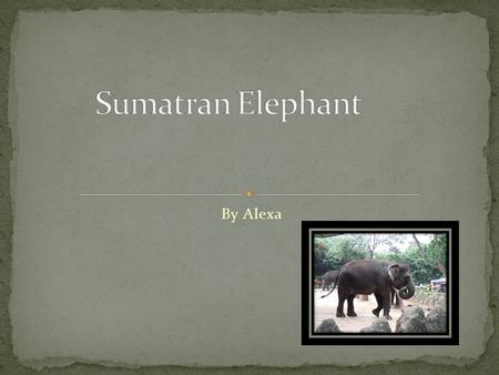 By Alexa The name of my animal is the Sumatran Elephant.