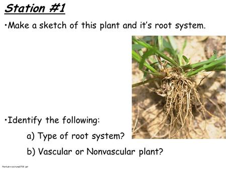 Station #1 Make a sketch of this plant and it's root system. Identify the following: a) Type of root system? b) Vascular or Nonvascular plant? PlantLab-w-pictures0708.ppt.