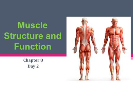 Muscle Structure and Function Chapter 8 Day 2. Gross Anatomy of Muscle 1 muscle = 1 organ Each muscle served by a nerve, artery, & vein (1 or more) Rich.