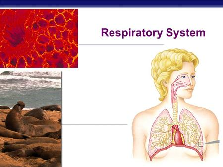 AP Biology 2008-2009 Respiratory System Regents Biology Respiration vs. Cellular Respiration.
