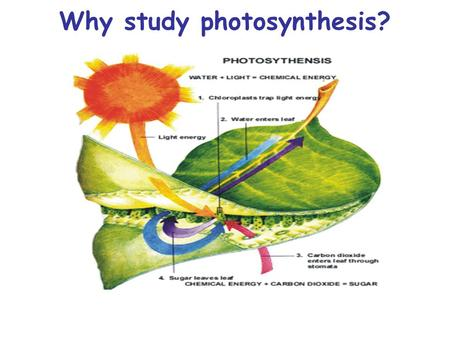 Why study photosynthesis?. Environment Source of earth's oxygen Uses carbon dioxide to prevent greenhouse gases.