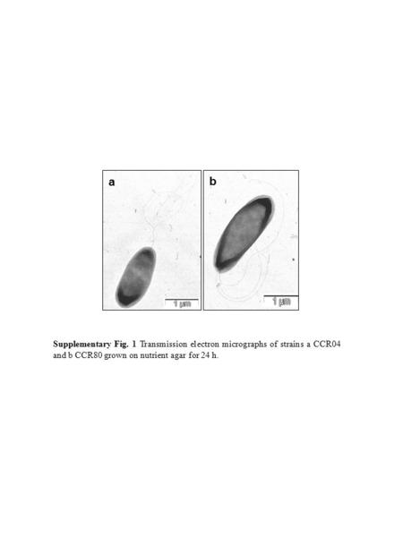 Supplementary Fig. 1 Transmission electron micrographs of strains a CCR04 and b CCR80 grown on nutrient agar for 24 h. a b.
