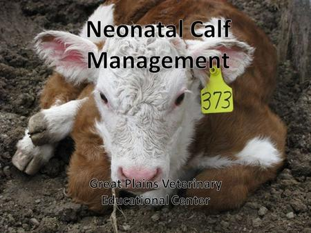 Percent calves born dead, died, or were lost during 1996 NAHMS Beef '97 Study 2.5 2.0 1.5 1.0 0.5 0 Born dead 24 hrs or less 24 hrs – 3 wks 3 wks – weaning.
