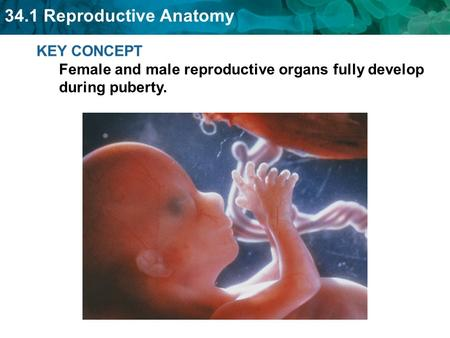 34.1 Reproductive Anatomy KEY CONCEPT Female and male reproductive organs fully develop during puberty.