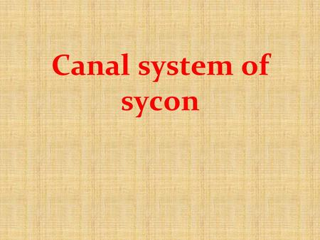 Canal system of sycon.