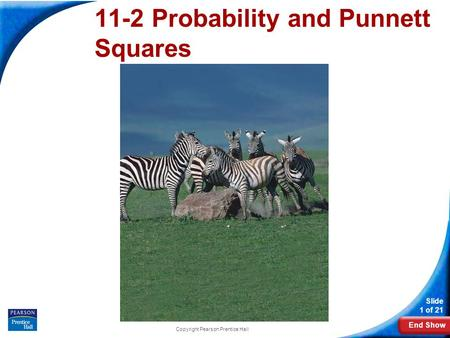 End Show Slide 1 of 21 Copyright Pearson Prentice Hall 11-2 Probability and Punnett Squares.