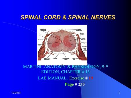 7/3/20151 SPINAL CORD & SPINAL NERVES MARTINI, ANATOMY & PHYSIOLOGY, 9 TH EDITION, CHAPTER # 13 LAB MANUAL, Exercise # 19 Page # 235.
