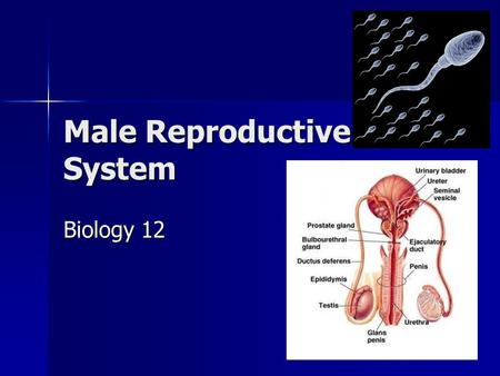 Male Reproductive System Biology 12. Testosterone a male sex hormone produced by the interstitial cells of the testes. a male sex hormone produced by.