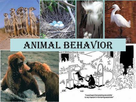 Animal Behavior. Behavior An animal's response to a stimulus. Innate behaviors are instinctive, like birds defending their nesting place, and are influenced.