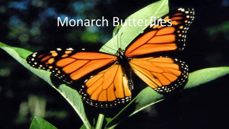 Monarch Butterflies. Introduction to my animal Welcome to my project about endangered species. The animal that I chose for this project was the Monarch.