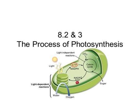 8.2 & 3 The Process of Photosynthesis. Key Questions What happens during the Light Dependent Reactions? What happens during the Light Independent Reactions?