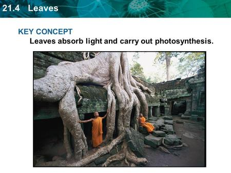 KEY CONCEPT  Leaves absorb light and carry out photosynthesis.