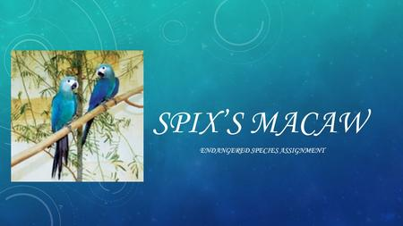 SPIX'S MACAW ENDANGERED SPECIES ASSIGNMENT. HABITAT  In the wild the spix's macaw lives in brazil witch is in south America.  It lives in places that.