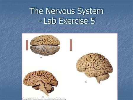 The Nervous System - Lab Exercise 5.  Central nervous system (CNS) – brain & spinal cord  Peripheral nervous system (PNS) – cranial nerves & spinal.