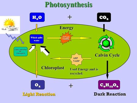 Photosynthesis H2OH2OH2OH2O CO 2 O2O2O2O2 C 6 H 12 O 6 Light Reaction Dark Reaction Light is Adsorbed ByChlorophyll Which splits water Chloroplast ATP.