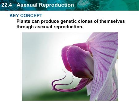 22.4 Asexual Reproduction KEY CONCEPT Plants can produce genetic clones of themselves through asexual reproduction.