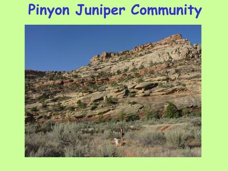 Pinyon Juniper Community. Microbiotic Crust Ecological roles for biological crusts 1. Fix carbon and nitrogen 2. Trap dust 3. Increase water retention.