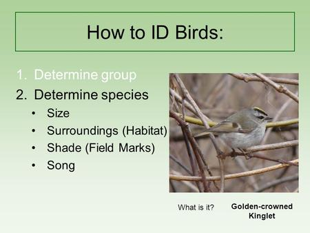 How to ID Birds: 1.Determine group 2.Determine species Size Surroundings (Habitat) Shade (Field Marks) Song What is it? Golden-crowned Kinglet.