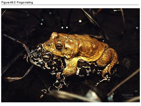 Figure 46.0 Frogs mating. Figure 46.0x1 Utethesia ornatrix mating.