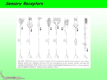 Sensory Receptors.  Range from simple neurons to complex sense organs  Types: chemoreceptors, mechanoreceptors, photoreceptors, electroreceptors, magnetoreceptors,