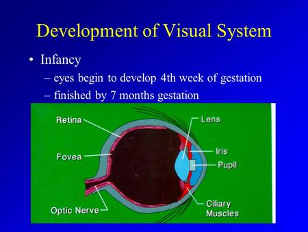 Development of Visual System Infancy –eyes begin to develop 4th week of gestation –finished by 7 months gestation.