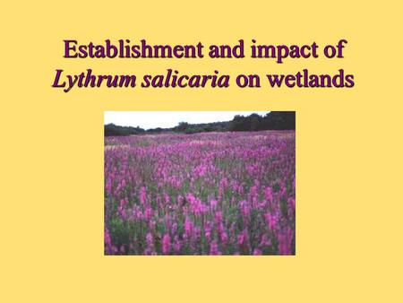 Establishment and impact of Lythrum salicaria on wetlands.