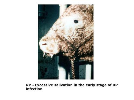 RP - Excessive salivation in the early stage of RP infection.
