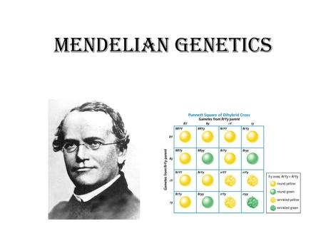 Mendelian Genetics. Vocabulary Terms 1.Allele- different forms of a gene 2.Phenotype- observable trait or characteristic 1.I.e. Green eyes, black hair.