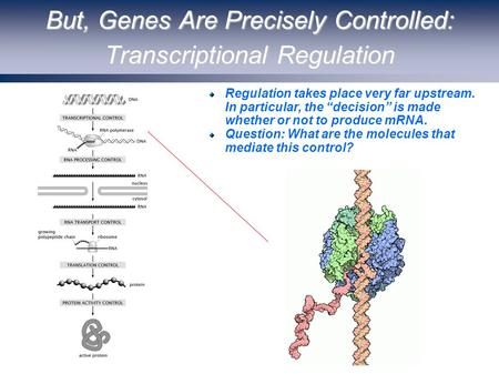 "But, Genes Are Precisely Controlled: Transcriptional Regulation Regulation takes place very far upstream. In particular, the ""decision"" is made whether."