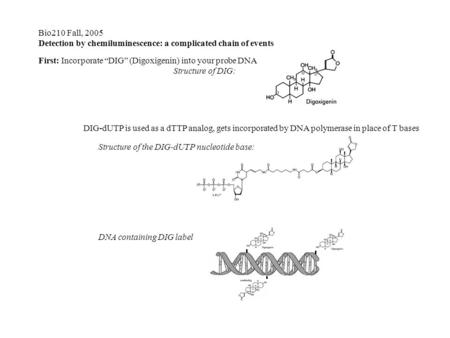 "DIG Bio210 Fall, 2005 Detection by chemiluminescence: a complicated chain of events First: Incorporate ""DIG"" (Digoxigenin) into your probe DNA Structure."