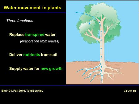 Water movement in plants Biol 121, Fall 2010, Tom Buckley 04 Oct 10 Three functions: Replace transpired water (evaporation from leaves) Deliver nutrients.