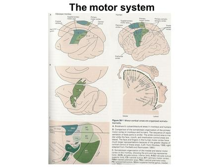 Motor cortical areas: the homunculus The motor system.