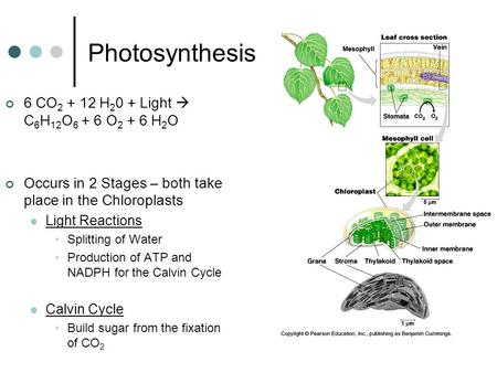 Photosynthesis 6 CO 2 + 12 H 2 0 + Light  C 6 H 12 O 6 + 6 O 2 + 6 H 2 O Occurs in 2 Stages – both take place in the Chloroplasts Light Reactions Splitting.