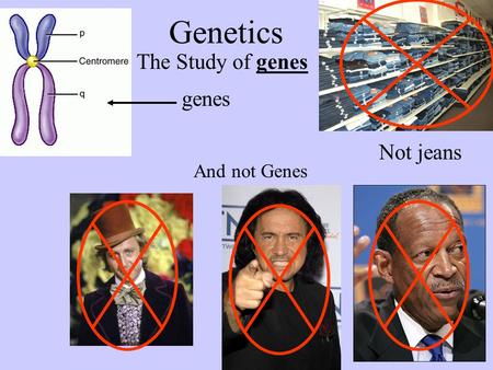 Genetics The Study of genes Not jeans And not Genes genes.