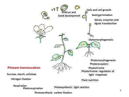 Skotomorphogenesis Seed germination Genes, enzymes and signal transduction Embryo and Seed development Photomorphogenesis Photoreceptors Phytochrome Cells.