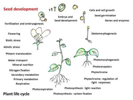 Skotomorphogenesis Seed germination Genes and enzymes Embryo and Seed development Plant life cycle Photomorphogenesis Photoreceptors Phytochrome Cells.